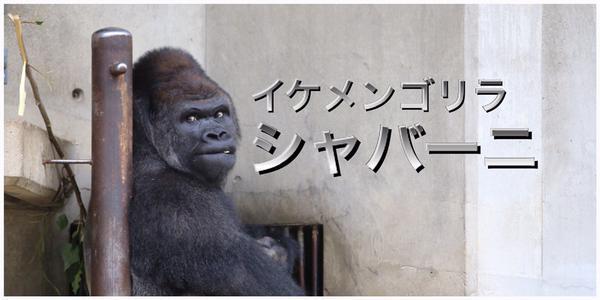 Самец гориллы по кличке Шабани очаровал жительниц Японии Красивый самец гориллы по...