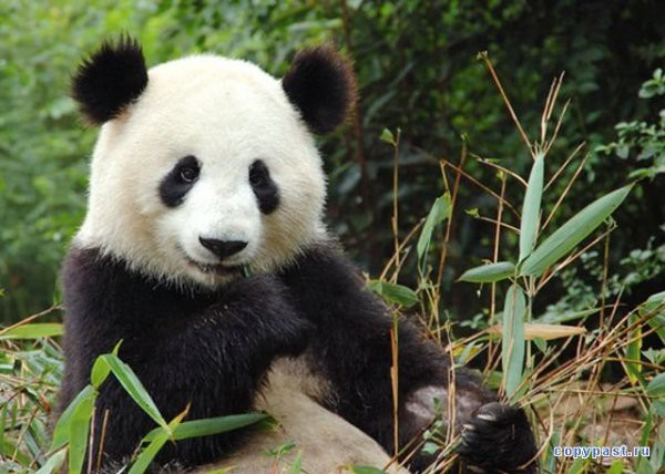 ВКитайской республике панда напала на гостя зоопарка