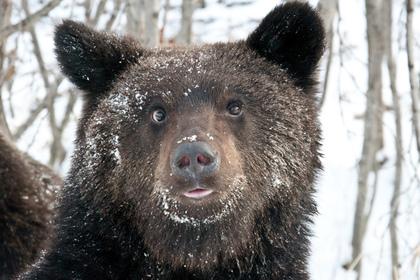 ВПриамурье бурый медведь напал на 2-х охотников