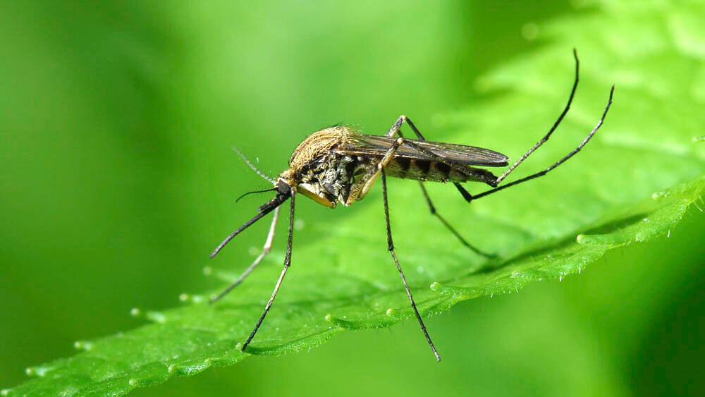 Ученые открыли новый вид комаров, которые непьют кровь