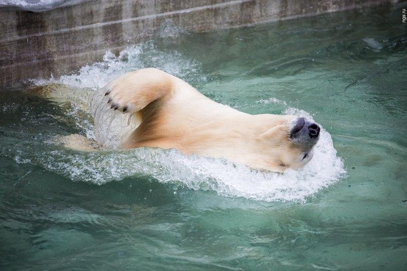 Впетербургском зоопарке белые медведи начали купание вбассейне