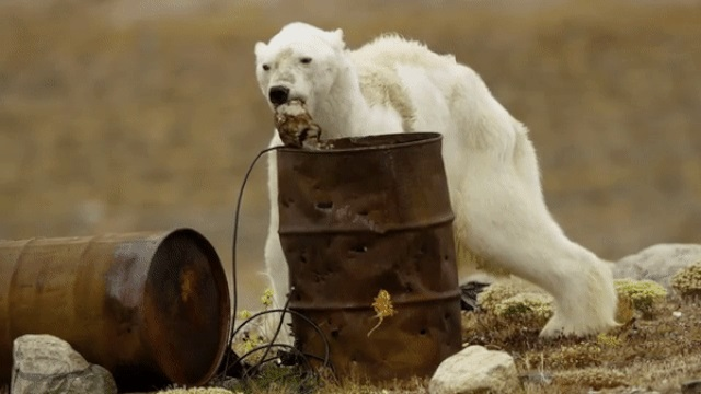 «Так выглядит голод». Пользователей Сети напугал истощенный белый медведь