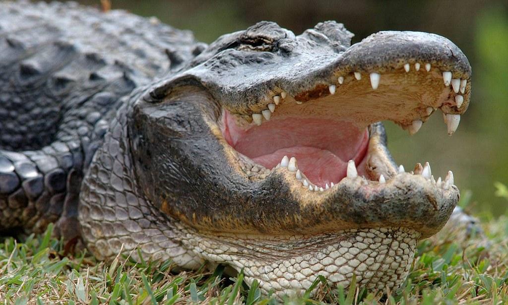 ВСША аллигатор откусил женщине руку
