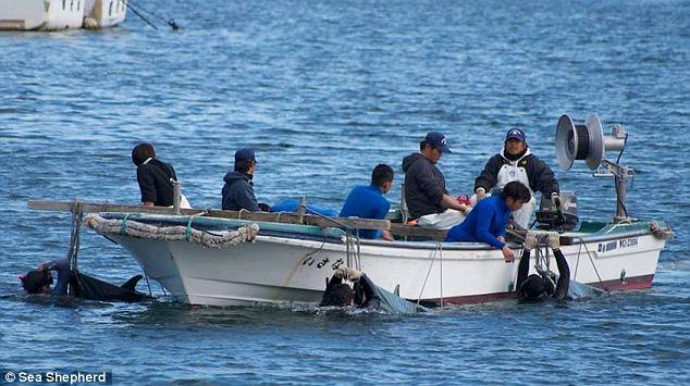 ловля дельфинов в японии