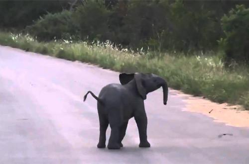 Сердитый слоненок рассмешил сеть— смешное видео