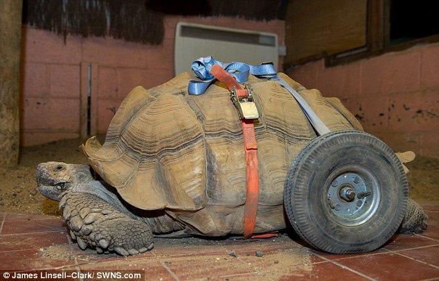 Черепаху-инвалида поставили наколеса вбританском парке развлечений