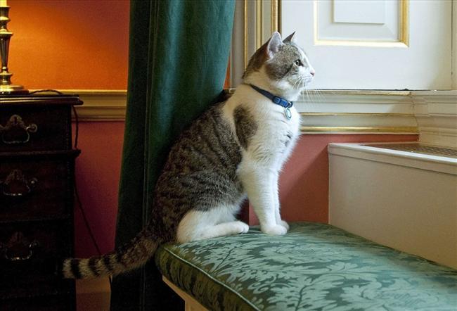 британец кот ловит мышей или нет